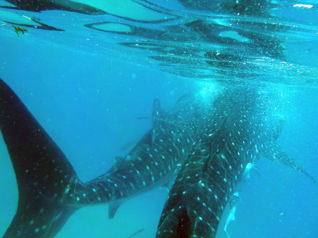 Whales Sharks of Oslob